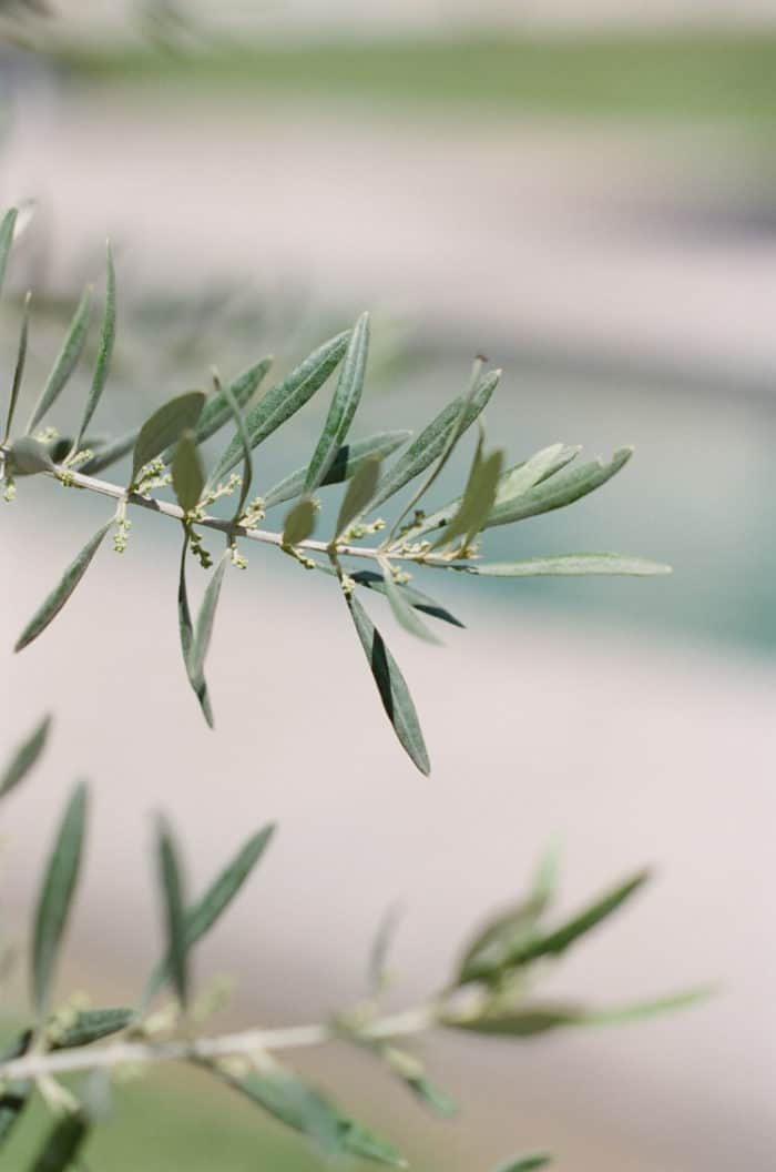 Olive Tree Leaves At Pool Engagement At Domaine De Manville In Provence During Tamara Gruner Workshops