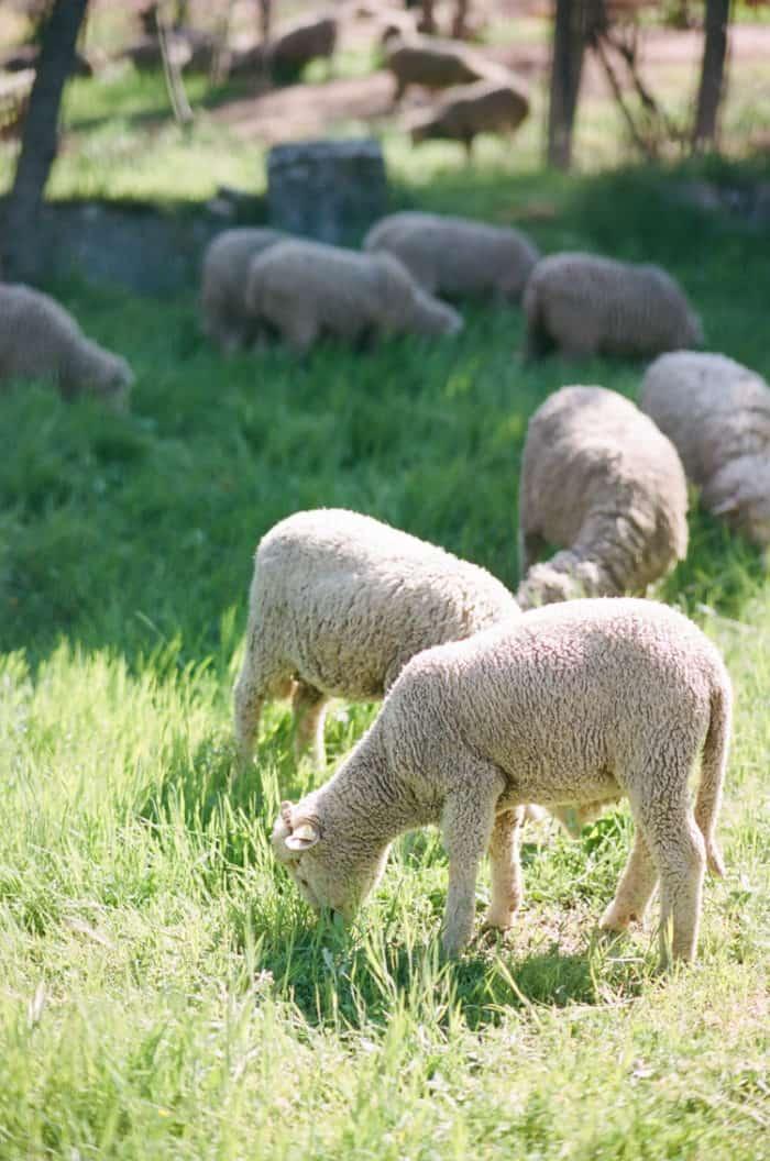 Sheep AT Glanum Ruins At Tamara Gruner Workshops