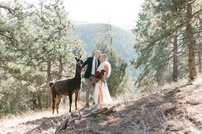 Engaged couple with llama and backdrop of pine trees and mountain range