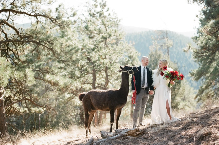 Wedding couple dressed for the winter walking around with llama