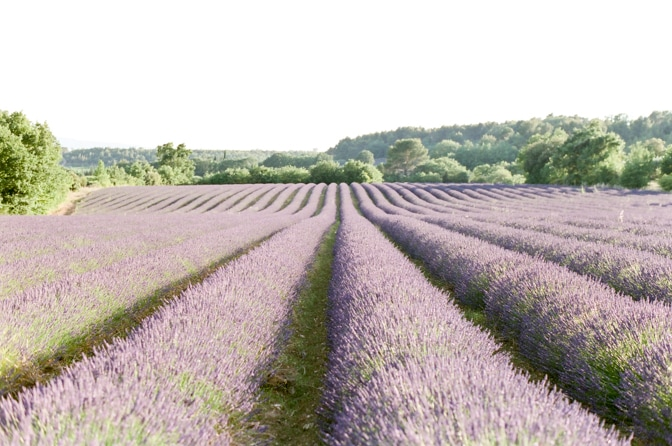 Lavender fields in the Luberon of Provence in France