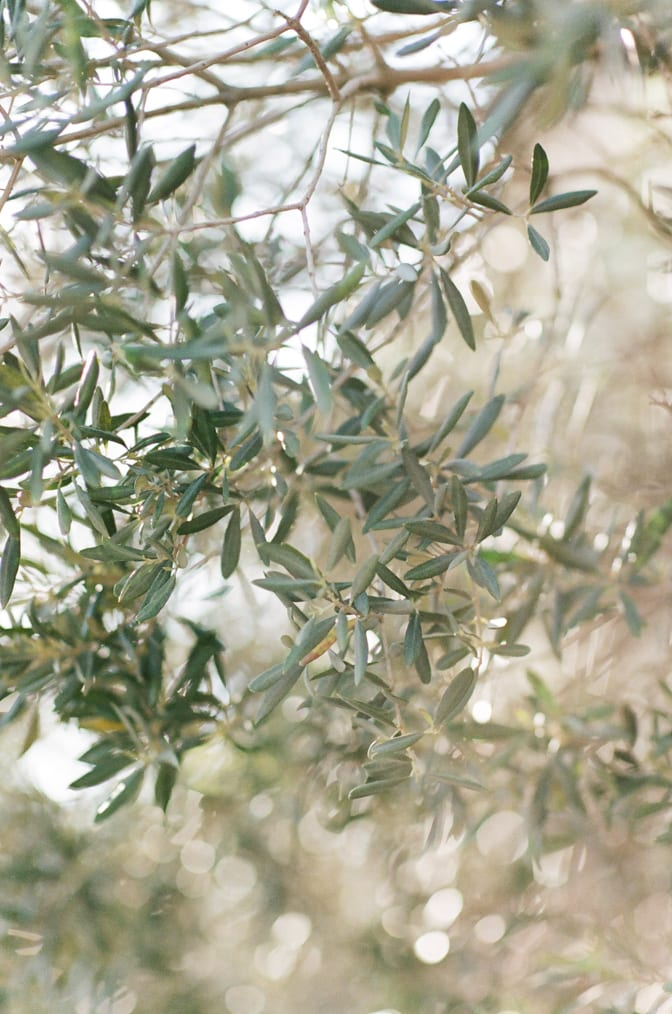 Closeup of olive tree leaves in Provence, France