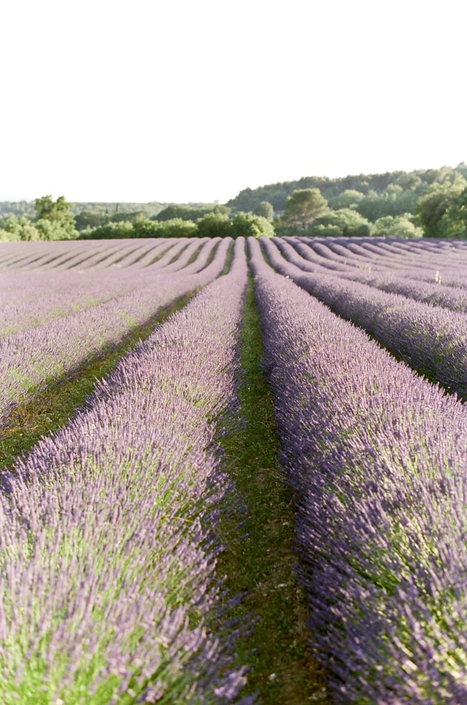 Blooming lavender fields in the Luberon of Provence in France