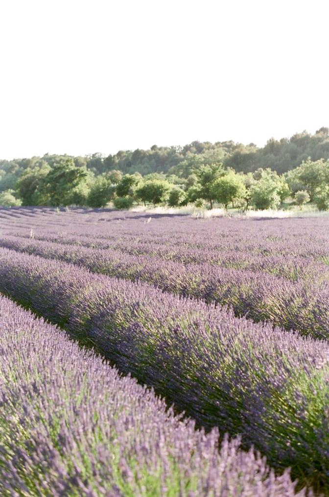 French lavender fields photographed by luxury destination wedding photographer Tamara Gruner