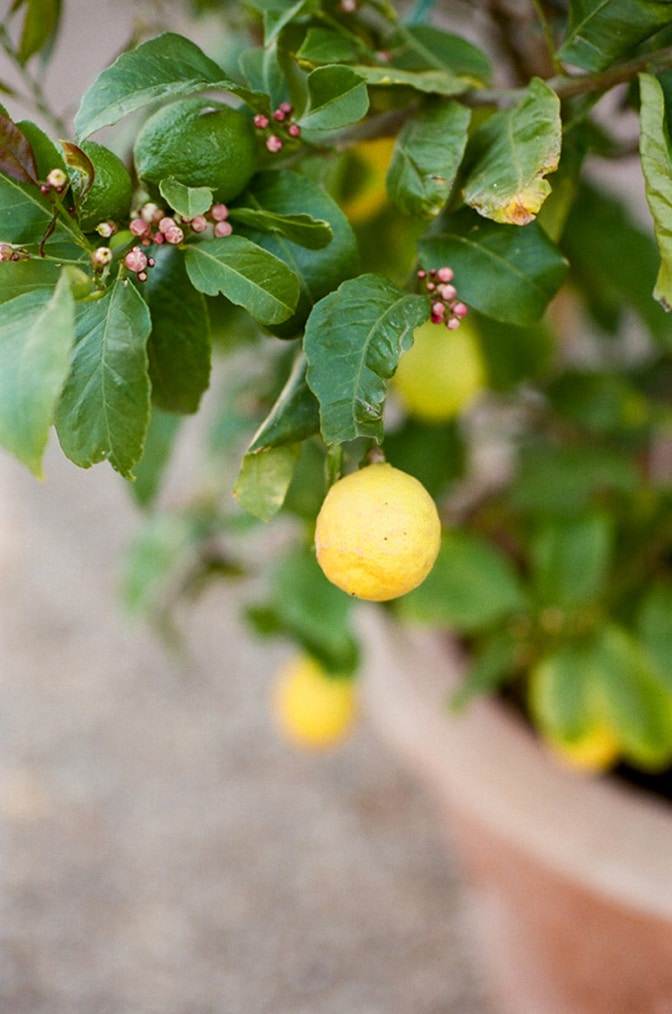 Close up of a lemon tree in Tuscany, Italy