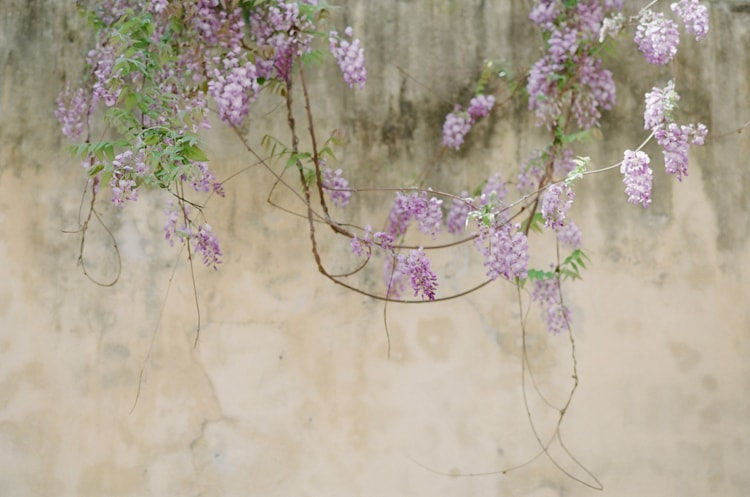 Wisteria growing from a yellow-colored building in the city of Florence Italy