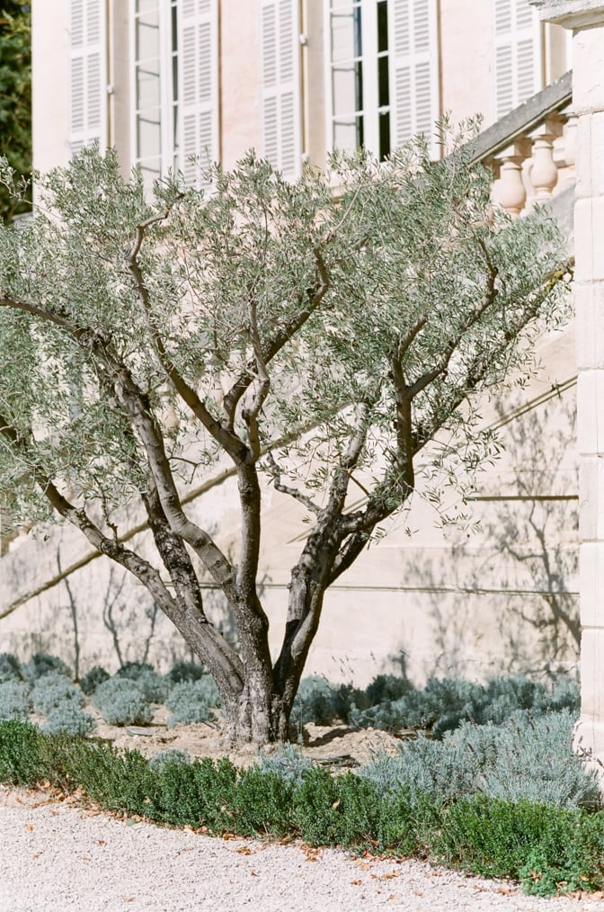 Olive tree in the backyard of Chateau Martinay in Provence
