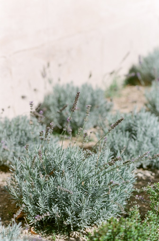 Closeup of lavender in the backyard of Chateau Martinay in Provence