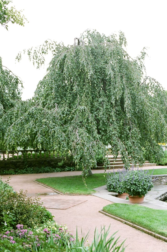 Willow tree at Chicago Botanic Garden