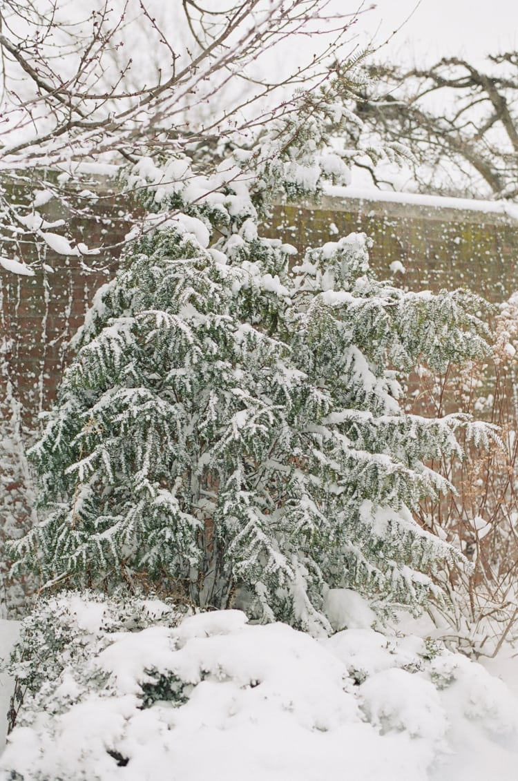 Closeup of a pine tree covered in snow at Chicago Botanic Garden