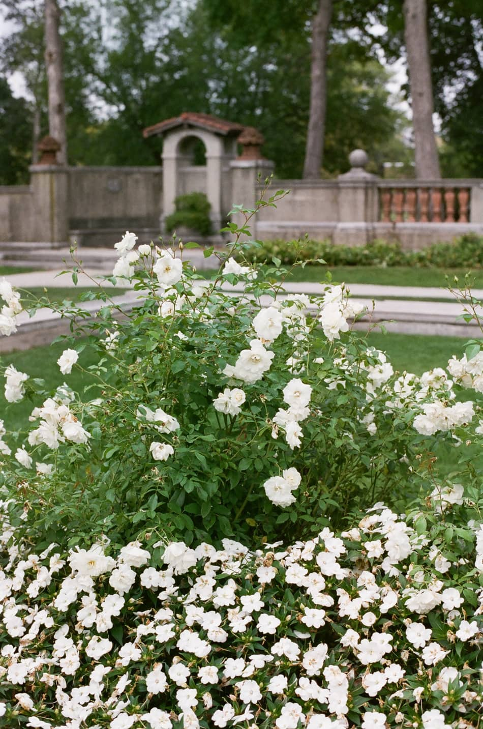 White roses at Armour House